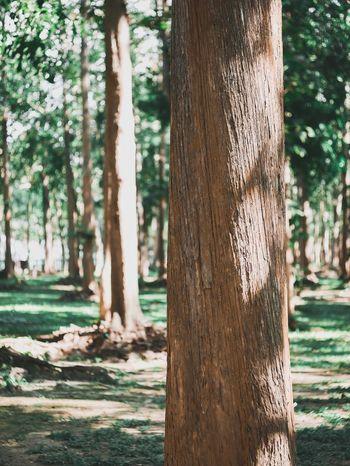 ต้นไม้ใหญ่ Tree Tree Trunk Trunk Plant Nature Day Growth No People Land Park Tranquility Outdoors Forest Tranquil Scene Plant Bark Park - Man Made Space Green Color Focus On Foreground Sunlight Beauty In Nature