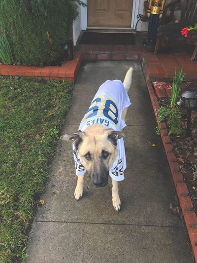 Chargers fan Dog! Fan - Enthusiast Fan Jersey Football Los Ángeles Los Angeles, California NFL Football NFL Pet Portraits Pet Pets EyeEm Selects Mammal Domestic Animals Pets Domestic One Animal Canine Dog High Angle View No People Footpath Pet Clothing