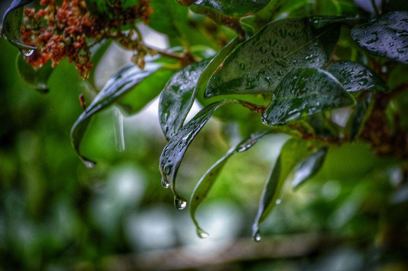 Beauty after the Rain Drip Nature Drama Beautyinnature  Wet Leaf Rain