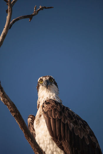 Osprey bird of prey pandion haliaetus sits in a dead tree over clam pass in naples, florida