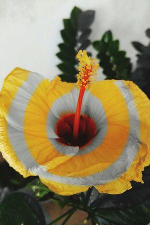 Philippines Photography Letspaint MagicEffects Lgg4photography LGG4 Yellow Yellowflower Gumamela Flower LoveFlower🌺 Automode Fineday Nov22015 Zebraprint Stripesflower Stripes Capture The Moment The Magic Mission Creativity Hello World
