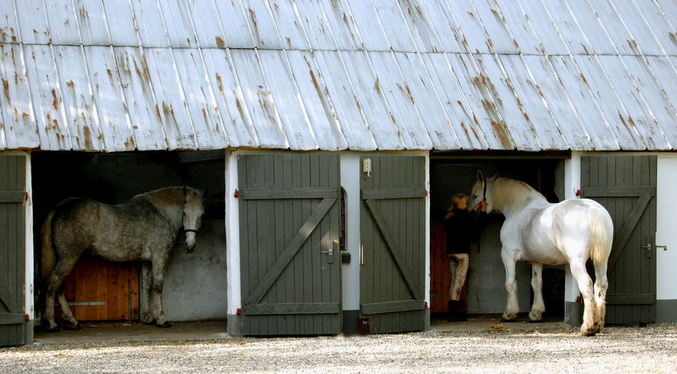 Agricultural Building Agriculture Animal Animal Themes Architecture Barn Boulonnais Building Exterior Built Structure Day Domestic Domestic Animals Farm Group Of Animals Herbivorous Horse Livestock Mammal No People Outdoors Pets Shed Stable Vertebrate EyeEmNewHere