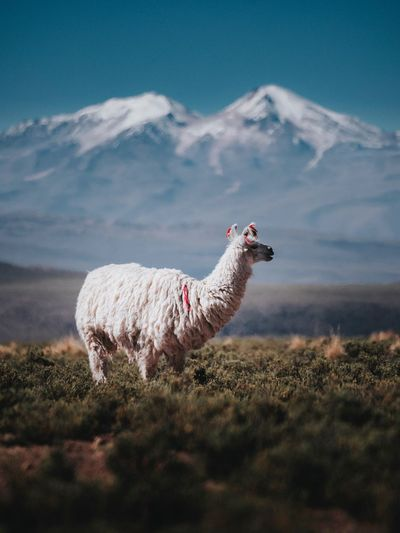 Llama grazing against snowcapped mountains