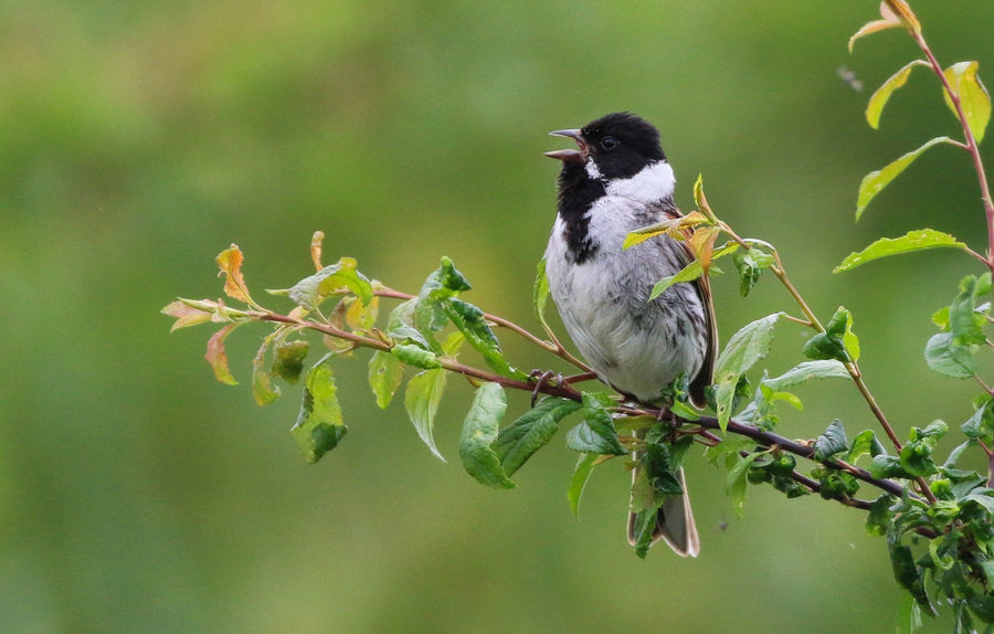 Reed Bunting Animal Animal Themes Animal Wildlife Animals In The Wild Bird Branch Close-up Day Focus On Foreground Green Color Leaf Nature No People One Animal Outdoors Perching Plant Plant Part Tree Vertebrate