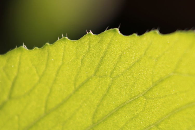 Tomatenpflanze Leaf Close-up Tomatenpflanze Tomato Plant Green Planf Space For Text Backgrounds