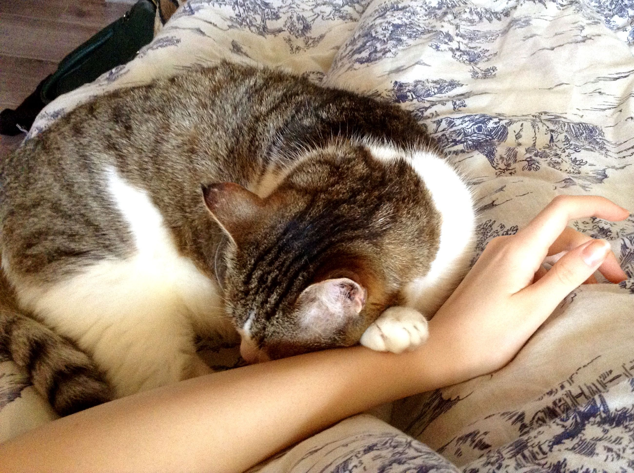animal themes, one animal, pets, mammal, domestic animals, person, part of, relaxation, domestic cat, indoors, personal perspective, resting, lying down, cropped, sleeping, unrecognizable person, cat