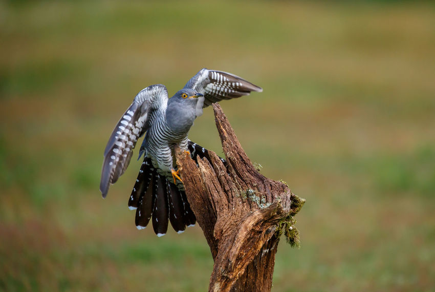A common cuckoo coming in to land on its favourite perch. Common Cuckoo Cuculus Canorus Landing Perch Animal Animal Themes Animal Wildlife Animals In The Wild Beauty In Nature Bird Brood Parasite Cuckoo Day Flying Focus On Foreground In Flight Nature No People One Animal Outdoors Spread Wings Up Close Vertebrate Wood - Material