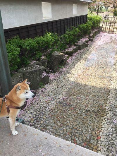 ピンクが綺麗✨ 柴犬 Shibainu Shibadog 散歩