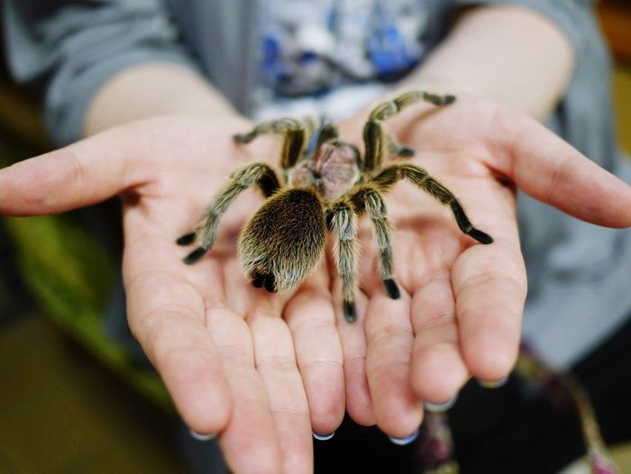 Midsection of person holding tarantula