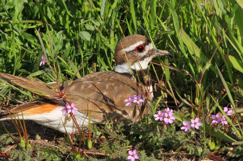 Killdeer Birds Wildlife Birds Birds Of EyeEm  Birds_collection Birds🐦⛅ Killdeer Wildlife Wildlife & Nature Wildlifephotography Flower Perching Close-up Plant Grass