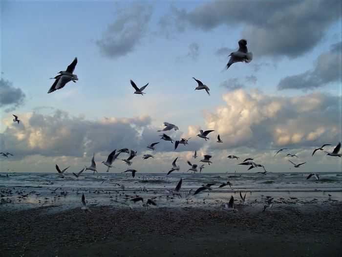 Animal Themes Animal Wildlife Animals In The Wild Beauty In Nature Bird Cloud - Sky Day Flock Of Birds Flying Freedom Large Group Of Animals Low Angle View Mid-air Migrating Nature No People Outdoors Scenics Seagull SEAGULL IN FLIGHT Seagulls And Sea Seascape Sky Spread Wings Togetherness