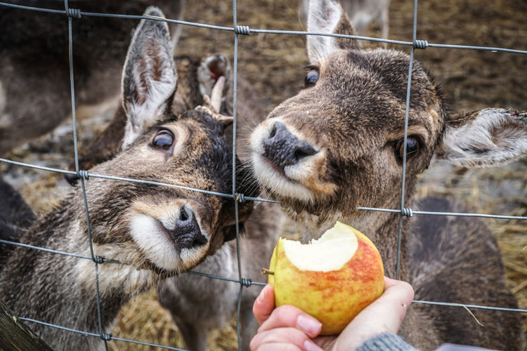 Woman feeding roe / doe / elk / deer / with red apple - first person view over the fence Animal Themes Apple Cute Deer Deers Doe Domestic Animals Elk Feeding  Feeding Animals Fence First Person View Food Friendly Fur Group Of Animals Hand Human Hand Mammal Nature One Person Roé Wild Wildlife Woman