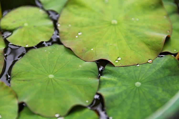 토닥토닥 비가 연 두드리는 여름 아침 . . #하루한컷 #가마쿠라 #연잎 #여름비 #5DMARK4 #신계륵 #EF2470F28LIIUSM Water Multi Colored Beauty Leaf Backgrounds Social Issues Floating On Water Close-up Plant Green Color
