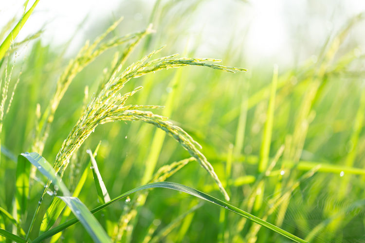 Close-up of crop growing on field