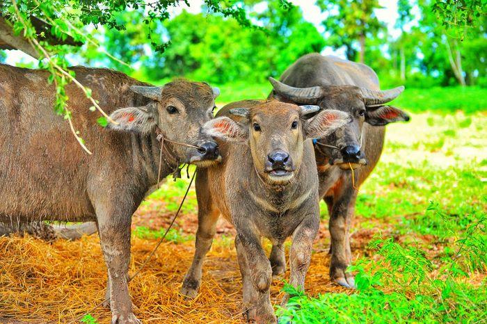 ควาย Buffolo Animal Themes Mammal Elephant Outdoors Nature Animals In The Wild Grass Tree Safari Animals Domestic Animals No People Day Animal Wildlife