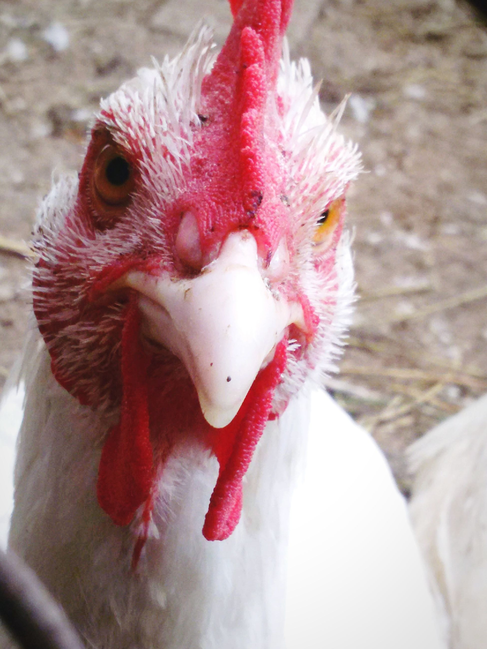 animal themes, one animal, close-up, animals in the wild, wildlife, focus on foreground, animal head, livestock, red, bird, animal body part, domestic animals, beak, chicken - bird, nature, day, outdoors, zoology, no people, cold temperature