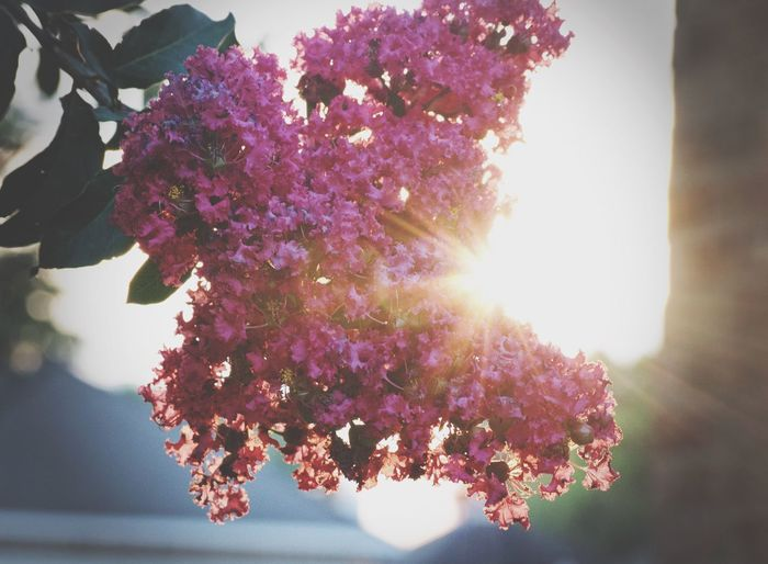 Close-up of crepe myrtles flowers against sun