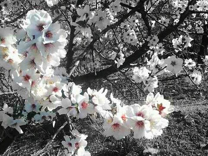 Black And White And Color Almendro Almendros En Flor Flor