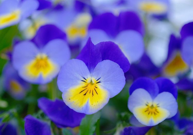 Flowering Plant Flower Petal Freshness Plant Vulnerability  Beauty In Nature Flower Head Close-up Pansy Purple Nature Selective Focus Botany Inflorescence