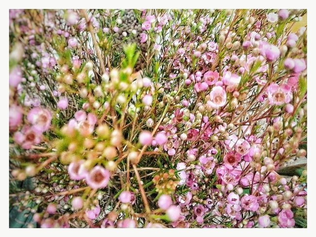 Growth Flower Nature Fragility Plant Beauty In Nature Blossom Outdoors No People Day Pink Color Freshness Close-up Flower Head Full Frame Smartphone Photography Snapseed Curves