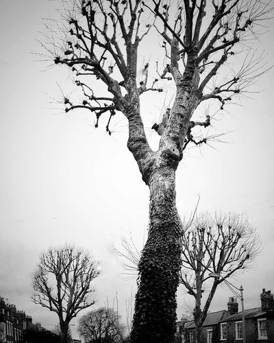 "Vertical panorama of ""whomping willow"" Rekiphontography Iphonephotoacademy"