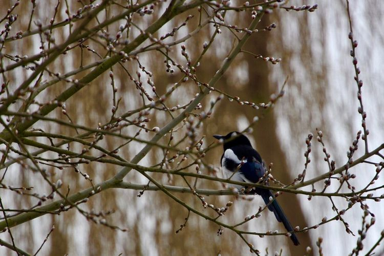 Magpie in
