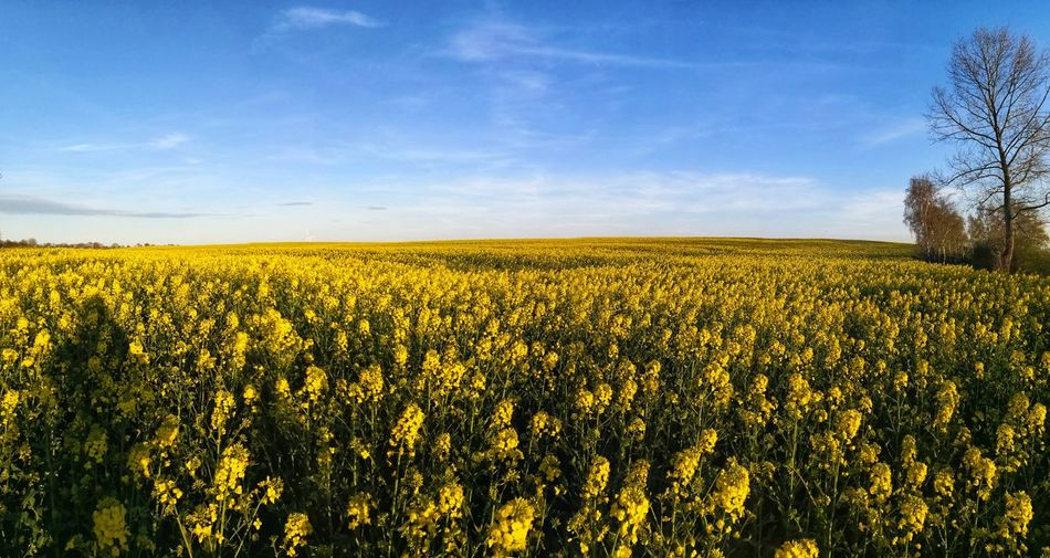 Canola oilseed plant panoramic view Biodiesel Canola Field Canola Flowers Oilseed Rape Flower Tree Rural Scene Cereal Plant Agriculture Blue Summer Field Yellow Crop  Botany Pollen Pistil In Bloom Blossom Flower Head Plant Life Blooming Bud Petal Farmland Agricultural Field Cultivated Land Combine Harvester Focus Springtime