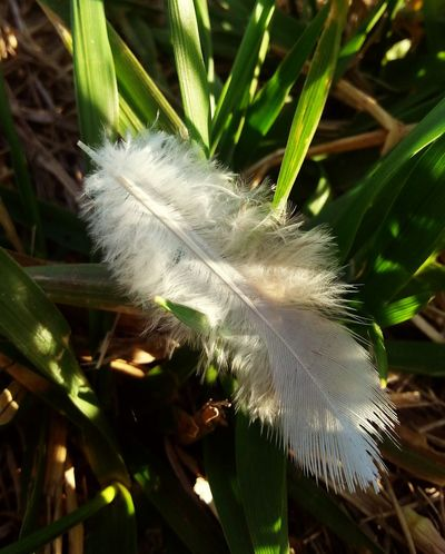 White Feather A single white feather laying on the green grass on a sunny day. Feather  Singlelife  Alone Resting Tranquility Whitefeather