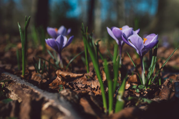 Springtime Decadence Flowering Plant Flower Plant Vulnerability  Beauty In Nature Fragility Freshness Growth Petal Close-up Nature Selective Focus Land Iris Purple Field Crocus Day No People Flower Head Outdoors