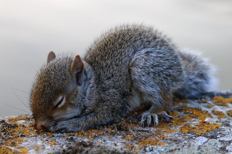 Close-up of young gray squirrel sleeping on retaining wall