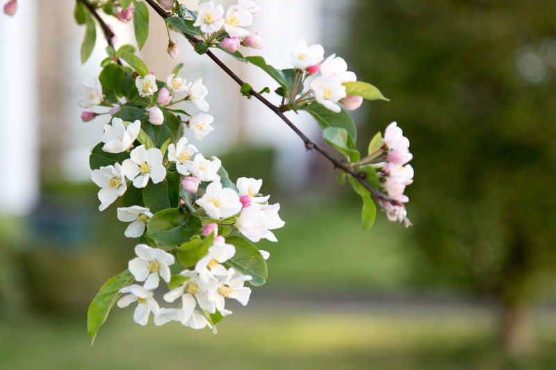 Close-Up Of Cherry Blossoms Growing On Branch