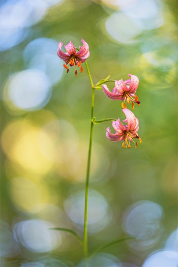 Türkenbund Blume Lilium Martagon Blumenfotografie Pflanzenwelt Flare Plant Flower Flowering Plant Vulnerability  Fragility Freshness Growth Beauty In Nature Petal Close-up Focus On Foreground Pink Color Flower Head Inflorescence Nature No People Day Outdoors Selective Focus Plant Stem