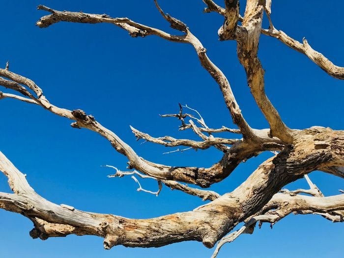 Deadwood Jeff Woytovich EyeEm Selects Tree Low Angle View Branch Day Blue Nature Clear Sky No People Outdoors Sunlight Bare Tree Beauty In Nature Tree Trunk Scenics Sky Animal Themes Dead Tree Growth