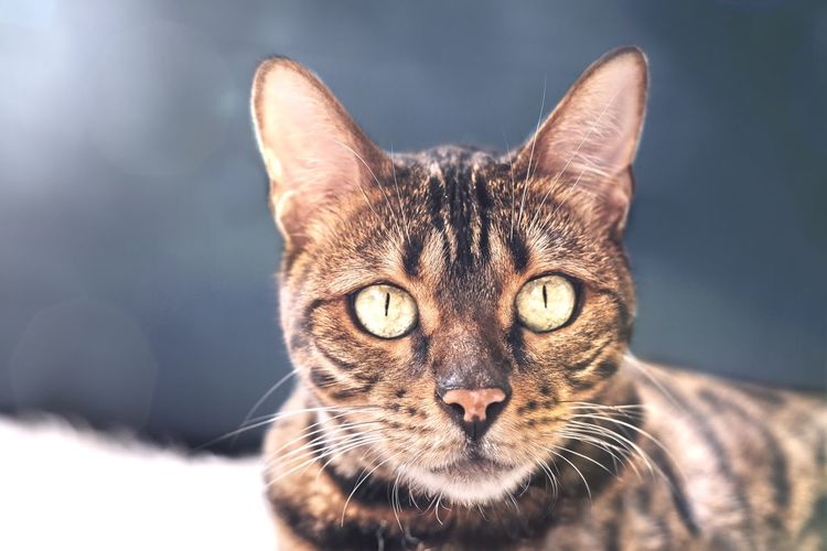 Close up portrait of a bengal cat.