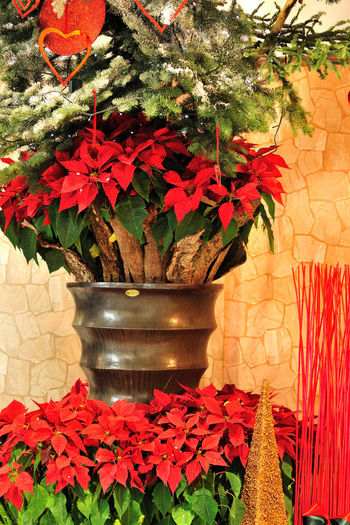 Christmas decoration Christmas Flower Arrangement Flower Arrangements Life Shape Autumn Beauty In Nature Close-up Day Floral Flower Flower Head Fragility Freshness Growth Leaf Maple Nature No People Outdoors Petal Plant Potted Plant Red Still Life