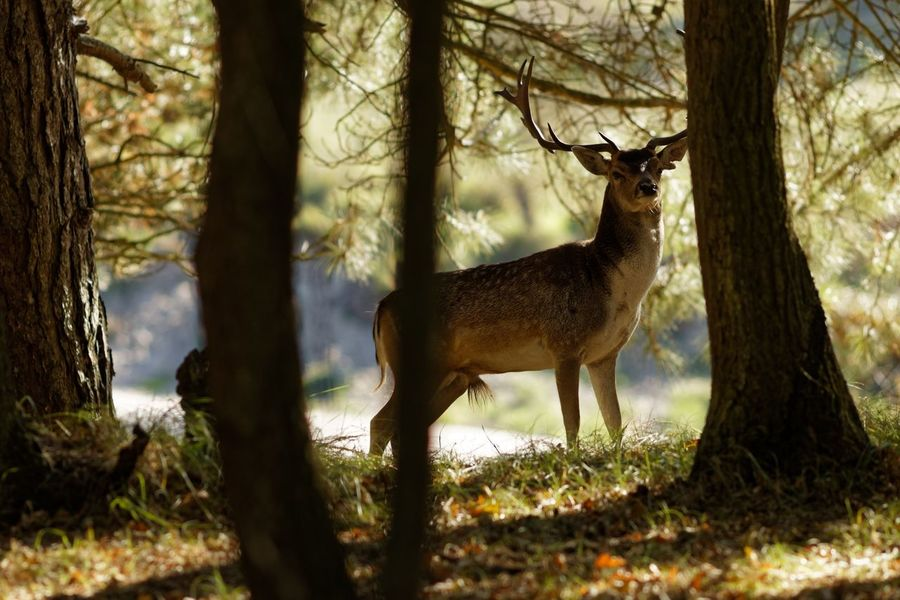 Buck In The Shadows Tree Animal Plant Animal Wildlife Animal Themes Mammal One Animal Animals In The Wild Nature Forest Standing No People Deer