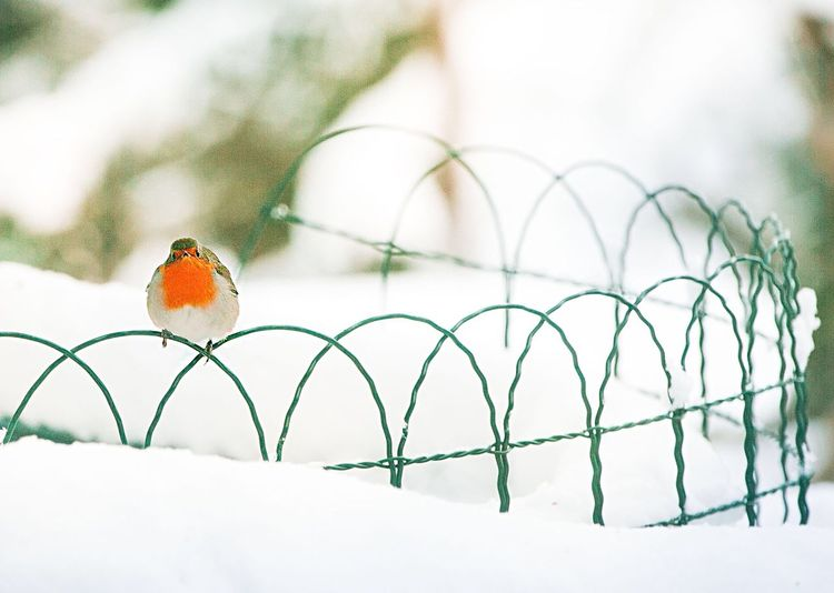 Robin Perching On Fence During Winter