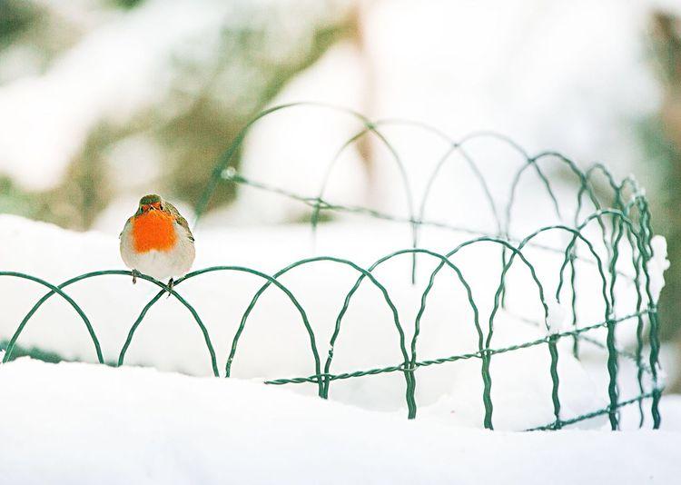 Winter Winterwonderland Robin Nature Photography Naturelovers Bird Photography