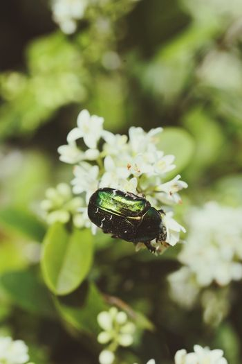 rose chafer on