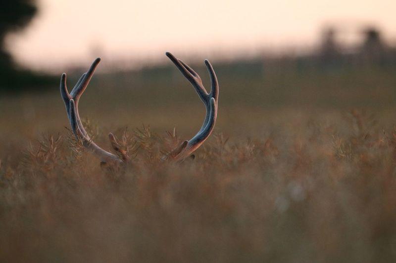 Deer on field