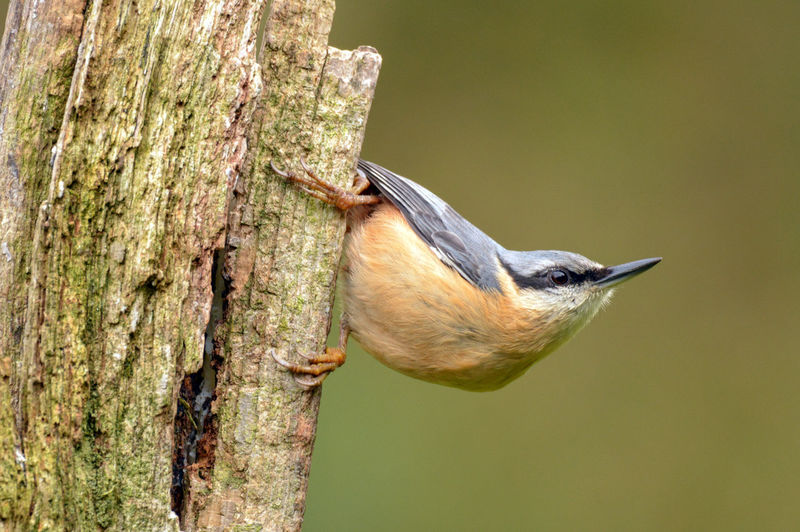 Nut Hatch Nuthatch Perched Nuthatch On Branch Animal Themes Bird Close-up Nature Nuthatch Perching Tree Trunk Wild Bird Wild Bird Collection Wild Birds