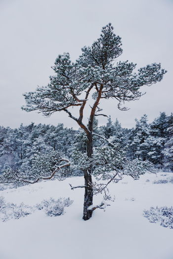 winter tree Backgrounds Wintertime Winter Winter Trees Pine Tree Winter_collection Winter Wonderland Winter Landscape Norwegian Winter Norwegian Nature Snow Cold Pinaceae Winter No People Snow Tree Outdoors Mountain Day Nature