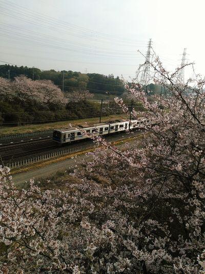 桜と電車 Cherry Tree Train