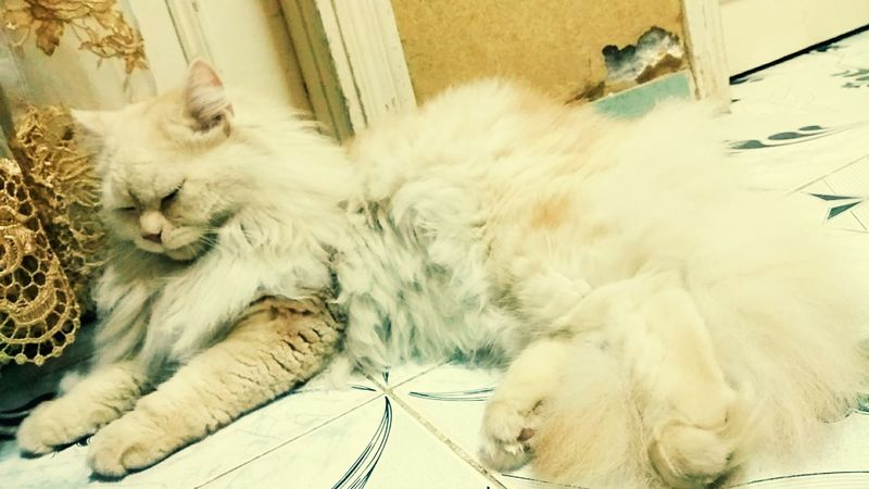 Peace Merce Mshmsh Beautiful Cats Domestic Cat Pets Domestic Animals Feline Animal Themes One Animal Animal Hair