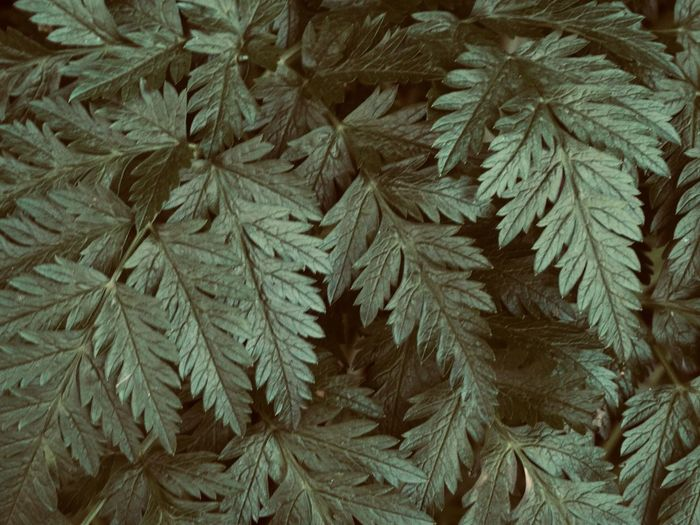 Fern Leaf Close Up Full Frame Backgrounds Growth Close-up Plant Leaf Plant Part Outdoors Beauty In Nature High Angle View Fir Tree Pine Tree Tree Freshness Abundance Green Color Fern Nature Textured  Floral Pattern Springtime Decadence My Best Photo