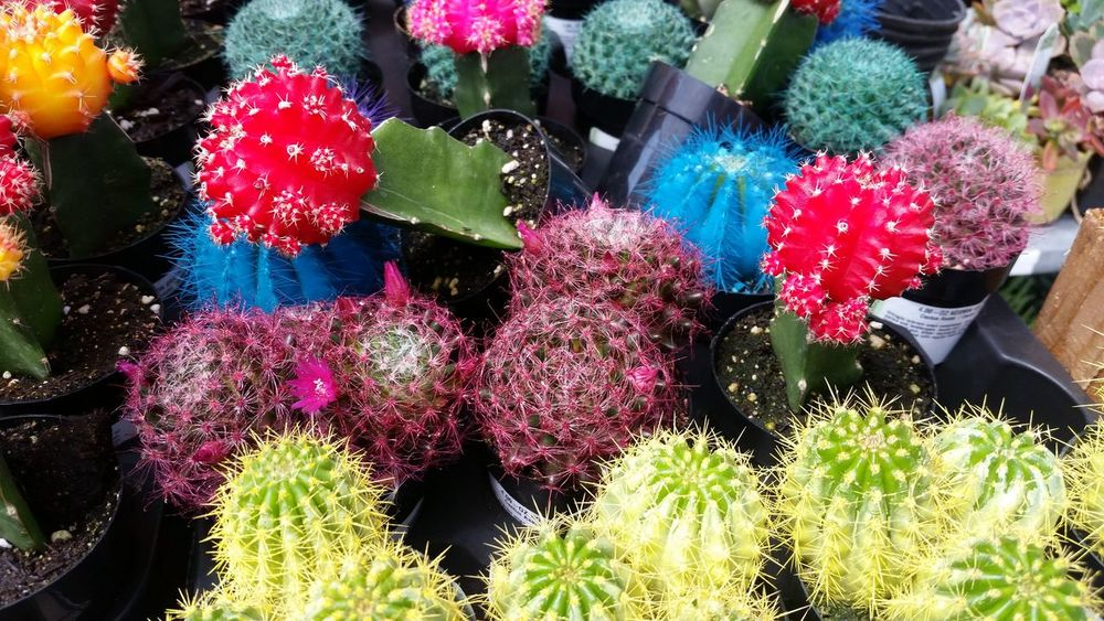 Colorful pot of cactus Multi Colored No People Close-up Outdoors Day catcus Architecture