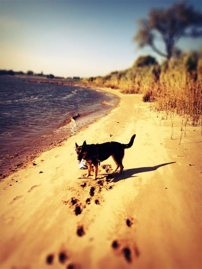 Animal Themes Pets One Animal Domestic Animals Dog Sand Mammal Beach Outdoors Nature No People Sea Sky Day Water Full Length