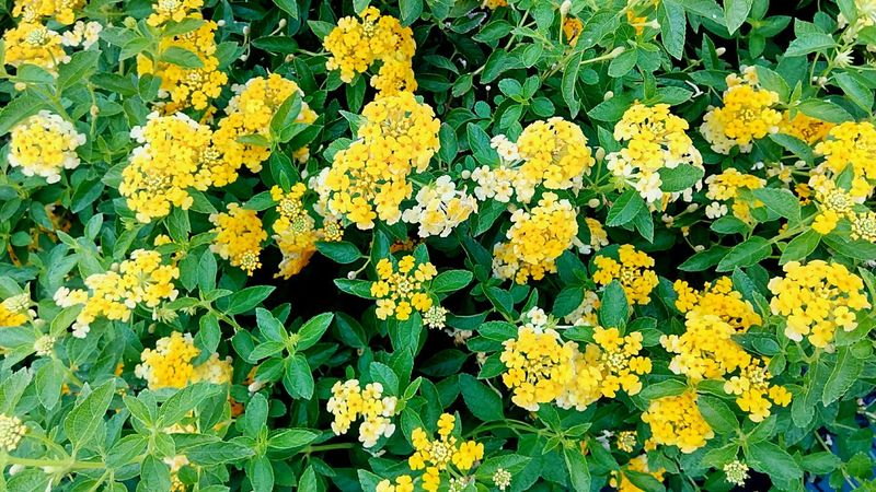 Flower Ornamental Plants Flower And Leaves Yellow Yellow Flower Yellow Color Yellow Tones Nature Color Beauty Of Nature Beautiful Nature Colorful Flowers Gardening Close-up Gardening Flower Photography Flower Collection Flowering Plants
