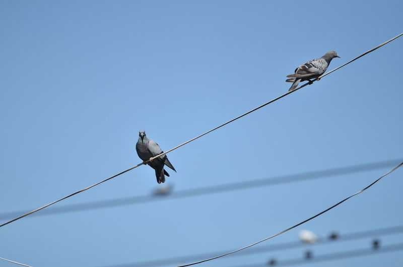 Cable Animal Animal Themes Vertebrate Animal Wildlife Sky Bird Perching Electricity  Low Angle View Group Of Animals Animals In The Wild Clear Sky Connection Power Line  Two Animals No People Nature Power Supply Day Outdoors Telephone Line