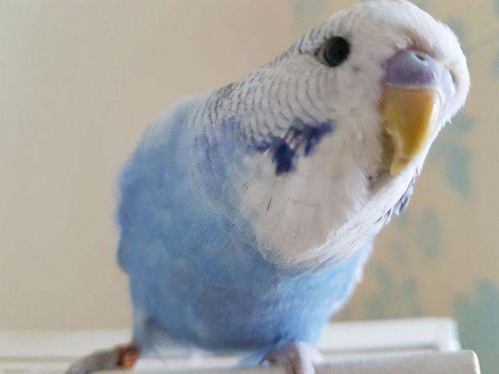 One Animal Animal Themes Budgie Close-up Alfie Cutie Bird Birdlove One Of My Favorite Things